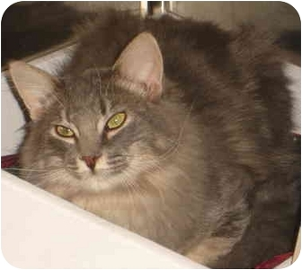 Norwegian Forest Cat Cat for adoption in San Diego, California - Kemosabe