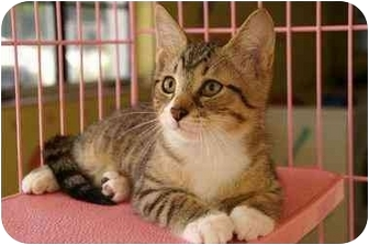 Domestic Shorthair Kitten for adoption in Englewood, Florida - Darrel