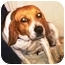 Photo 3 - Beagle Dog for adoption in Osseo, Minnesota - Sophie