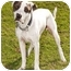 Photo 1 - Pointer/Boxer Mix Dog for adoption in Marina del Rey, California - Benny