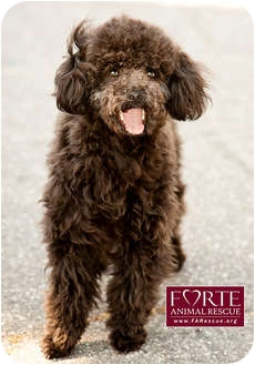 Poodle (Toy or Tea Cup) Mix Dog for adoption in Marina del Rey, California - Dukey