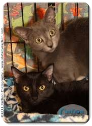 Domestic Shorthair Kitten for adoption in Yorba Linda, California - Droid and Blackberry