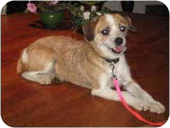 Jack Russell Terrier/Parson Russell Terrier Mix Dog for adoption in Smithville, Tennessee - Dixie Lynn