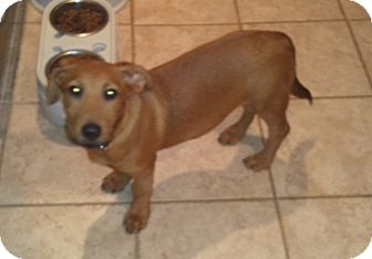 Dachshund/Hound (Unknown Type) Mix Puppy for adoption in Bardonia, New York - Rugby