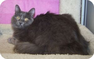 Domestic Mediumhair Cat for adoption in Colorado Springs, Colorado - Scarlett