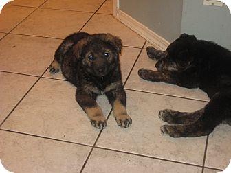 Anatolian Shepherd/Husky Mix Puppy for adoption in Surrey, British Columbia - Hermione