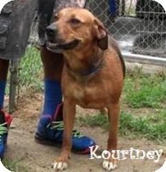 Labrador Retriever Mix Dog for adoption in Philadelphia, Pennsylvania - Kourtney