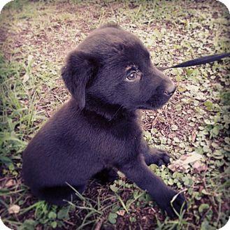 Labrador Retriever Mix Puppy for adoption in Austin, Arkansas - Clark
