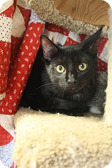 Domestic Shorthair Kitten for adoption in Homewood, Alabama - Patrick