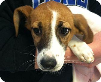 Hound (Unknown Type) Mix Puppy for adoption in Greensburg, Pennsylvania - Geisha