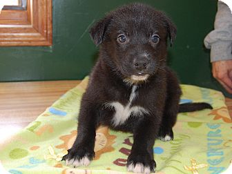 Husky Mix Puppy for adoption in North Judson, Indiana - Rock On