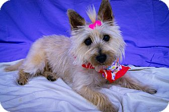 Cairn Terrier Dog for adoption in Princeton, Kentucky - Tinka