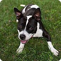 Adopt A Pet :: Veruca - Reisterstown, MD