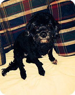 Havanese Dog for adoption in Brattleboro, Vermont - Lexi