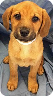 Beagle Mix Puppy for adoption in Gahanna, Ohio - ADOPTED!!!   Drew