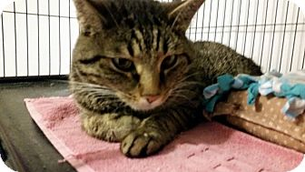 Domestic Shorthair Cat for adoption in Hanna City, Illinois - Mounds