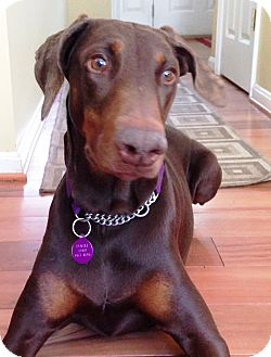 Doberman Pinscher Dog for adoption in Arlington, Virginia - Shiloh