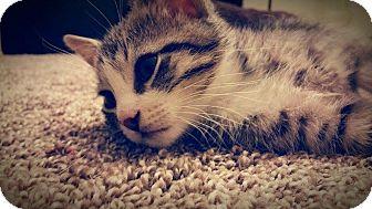 Domestic Mediumhair Kitten for adoption in Mansfield, Texas - Taz