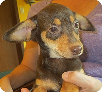 Dachshund Mix Puppy for adoption in Greenville, Rhode Island - Javier