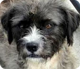 "Schnauzer (Miniature)/Poodle (Miniature) Mix Dog for adoption in Wakefield, Rhode Island - GI GI(OUR ""SNOODLE""  AWWWWW"