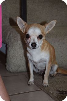 Chihuahua Dog for adoption in Los Angeles, California - Baby Girl