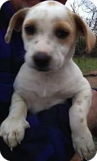 Terrier (Unknown Type, Small) Mix Puppy for adoption in Saddle Brook, New Jersey - Luke