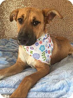 Shepherd (Unknown Type) Mix Puppy for adoption in San Diego, California - LONDON