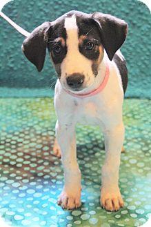 Labrador Retriever/Beagle Mix Puppy for adoption in Bedminster, New Jersey - Dezy Jo