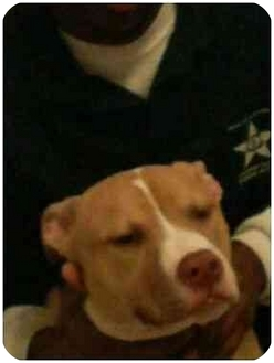 "Pit Bull Terrier Puppy for adoption in Liberty Township, Ohio - Pit Bull PET Puppy ""Ali"" 1Yr O"