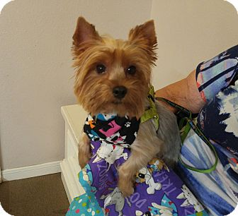 Yorkie, Yorkshire Terrier Dog for adoption in Conroe, Texas - Laurie