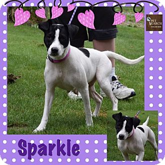 Terrier (Unknown Type, Medium)/Collie Mix Dog for adoption in Washington, Pennsylvania - Sparkle