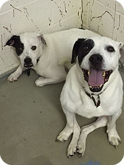 Boxer Mix Dog for adoption in Chambersburg, Pennsylvania - Aston