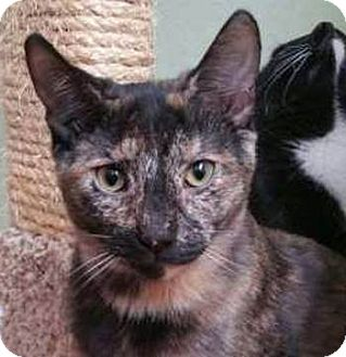 Domestic Shorthair Kitten for adoption in Davis, California - Andromeda