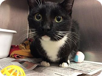 Domestic Shorthair Cat for adoption in Janesville, Wisconsin - Mariposa