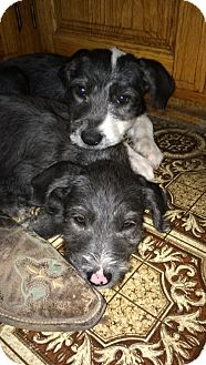 Terrier (Unknown Type, Medium) Mix Puppy for adoption in Albuquerque, New Mexico - Jelly