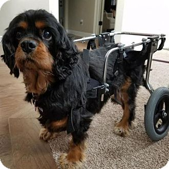 Cocker Spaniel Dog for adoption in Parker, Colorado - Maybrie 16-121