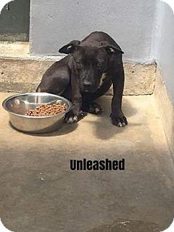 American Bulldog/Labrador Retriever Mix Dog for adoption in Mission, Kansas - Berry Go Round
