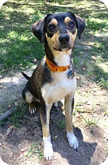 Chihuahua/Beagle Mix Dog for adoption in Haggerstown, Maryland - Eli