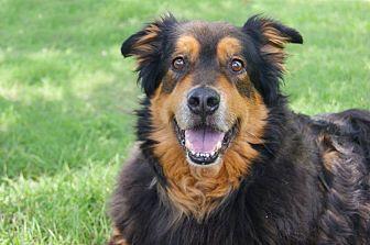 Bernese Mountain Dog/Gordon Setter Mix Dog for adoption in Dallas, Texas - Pumba
