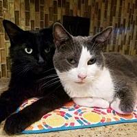 Adopt A Pet :: Pebbles - Chino Hills, CA