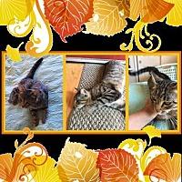 Adopt A Pet :: Ms Kitty - Fresno, CA