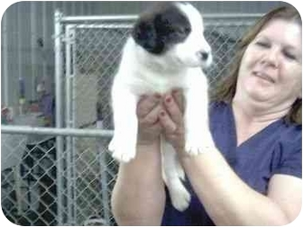 Sheltie, Shetland Sheepdog/Beagle Mix Puppy for adoption in Higginsville, Missouri - Mikey