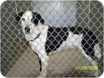 Border Collie/Labrador Retriever Mix Dog for adoption in Brighton, Tennessee - Bing