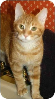 Domestic Shorthair Cat for adoption in Gladwin, Michigan - Ike