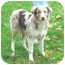 Photo 1 - Australian Shepherd Puppy for adoption in Austin, Minnesota - Speedy