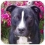 Photo 4 - American Pit Bull Terrier Mix Dog for adoption in Berkeley, California - Sparky