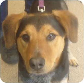 Australian Cattle Dog/Collie Mix Dog for adoption in Chicago, Illinois - Scotch