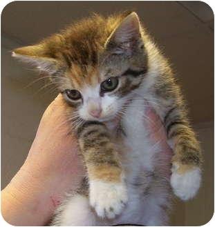 Calico Kitten for adoption in Somerset, Pennsylvania - Karen