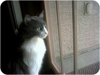 Domestic Mediumhair Cat for adoption in Phoenix, Arizona - ELLIOT