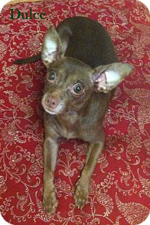 Chihuahua Mix Dog for adoption in Davie, Florida - Dulce